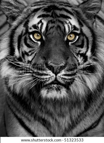 Tiger eyes - stock photo