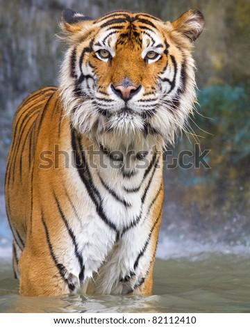 Tiger Face. - stock photo