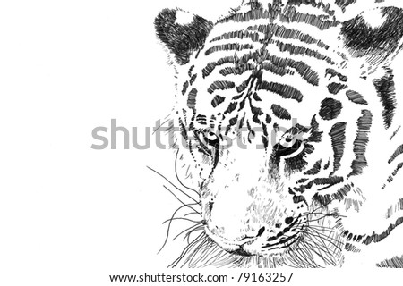 Tiger face and head close up isolated on white for business card or clip art, has copy space, hand drawn ink sketch in high resolution jpeg - stock photo