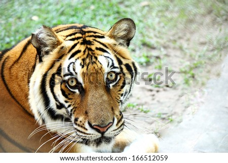 Tiger face portrait  - stock photo