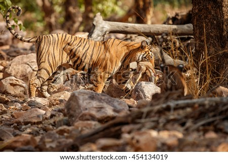 Tiger female and her cub with a dead axis deer/wild animals after hunt in the nature habitat/India - stock photo