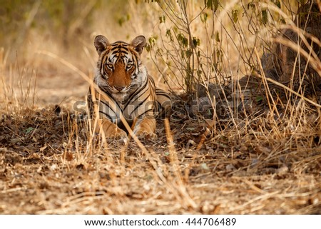 Tiger female is resting in the shadow/wild animal in the nature habitat/India
