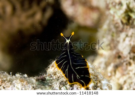 tiger flatworm (pseudoceros cf. dimidiatus) - stock photo