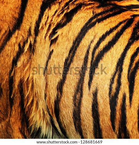 Tiger fur - stock photo