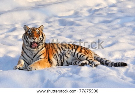 tiger has a rest lays on a snow - stock photo