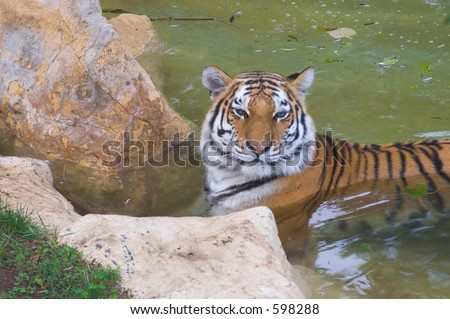 Tiger in a pond - stock photo