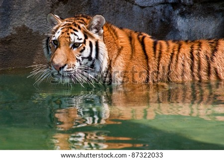 Tiger in a reflecting pool.