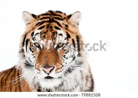 Tiger in fresh snow - stock photo
