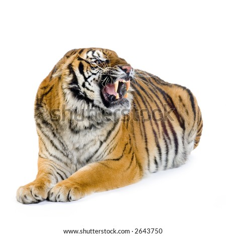 Tiger in front of a white background. All my pictures are taken in a photo studio - stock photo