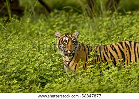 Tiger in green bushes of Ranthambhore after the monsoon rains - stock photo