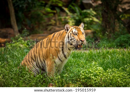 Tiger in its natural habitat at forest - stock photo