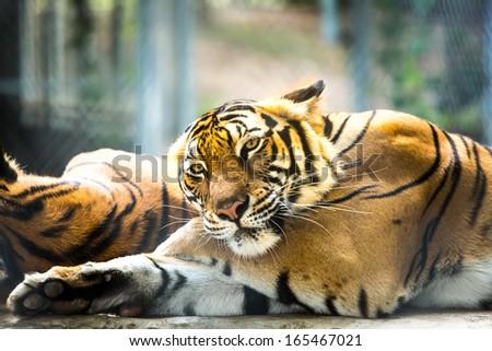 tiger in nightsafari chiangmai Thailand - stock photo