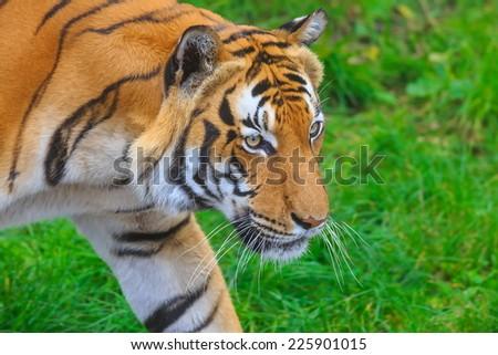 tiger in profile - stock photo