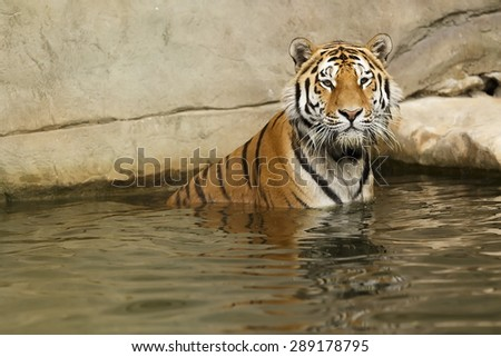 tiger in the river - stock photo