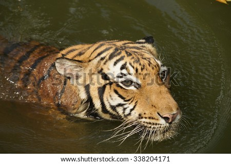 Tiger in the zoo / Tiger swimming in lake / Captive Tiger / Asian Tiger / Malayan Tiger / Fierce Tiger / Wild Tiger - stock photo