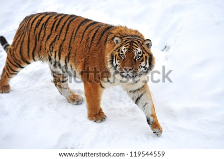 Tiger  in winter - stock photo