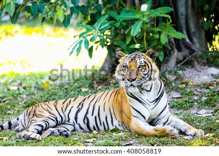 Tiger in zoo. - stock photo
