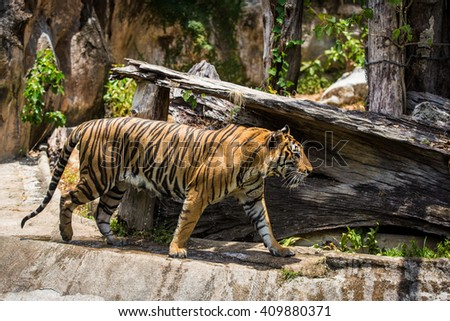 Tiger in zoo - stock photo