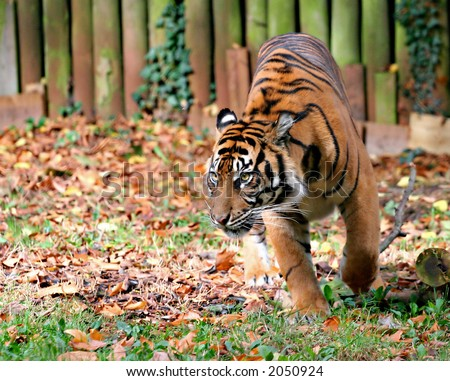 Tiger in Zoo - Stalking & ready to pounce, camouflaged in leaves - stock photo