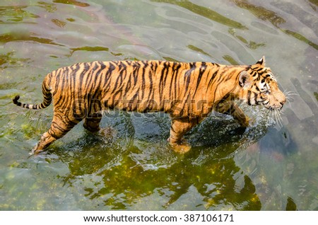 Tiger in Zoo Walking on Water, Business Tourism on Wildlife Conservation Thailand. - stock photo