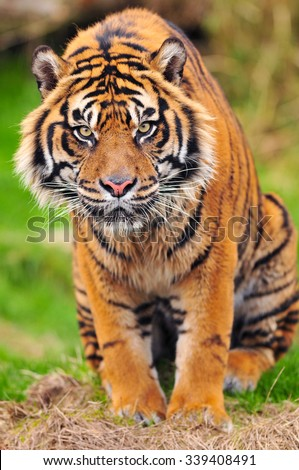 Tiger intensely looking towards the camera in a sitting posture - stock photo