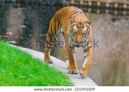tiger is comes - stock photo