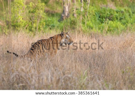 tiger is hiding in the bush in search of a prey - stock photo