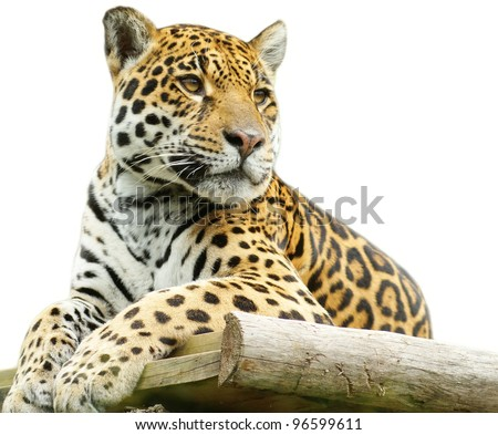 Tiger - isolated on white background - stock photo