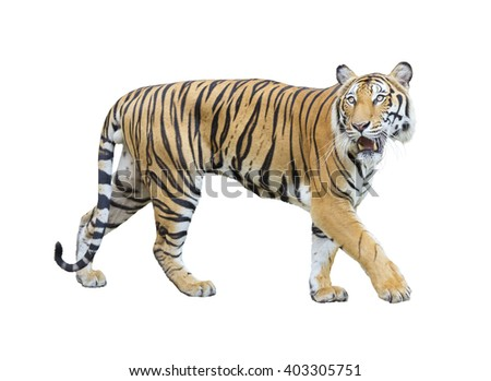 tiger isolated on white background with clipping path. - stock photo