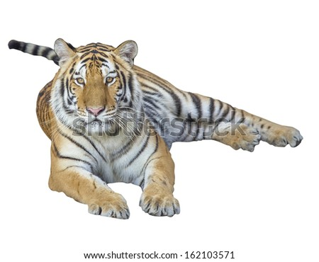 Tiger Isolated on white with clipping path - stock photo