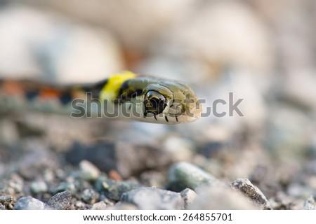 Tiger Keelback-Rhabdophis tigrinus - stock photo
