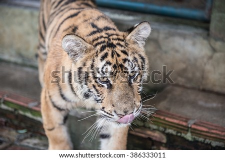 Tiger Kingdom Pictures - stock photo