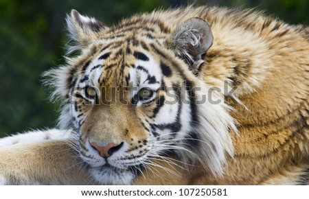 Tiger laid down resting on a log