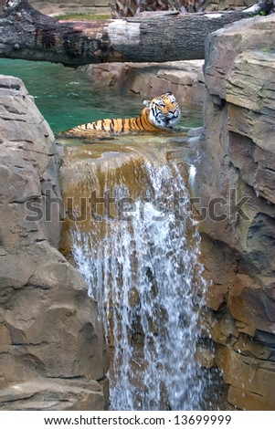 Tiger laying in water - stock photo