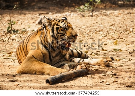 Tiger laying on the ground tired lazy wildcat - stock photo