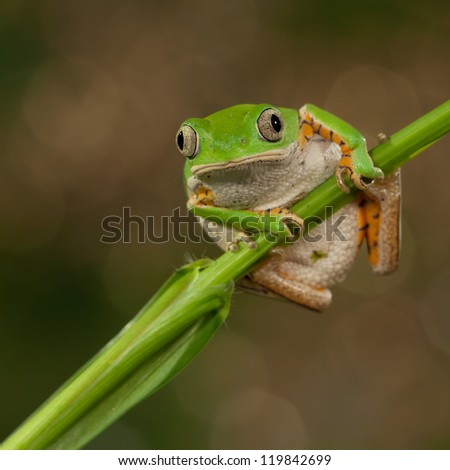 Tiger Leg Monkey Frog looking at the photographer - stock photo