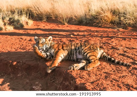 Tiger licking its paw - stock photo