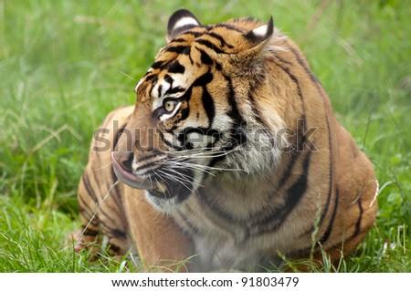 Tiger licking lips - stock photo