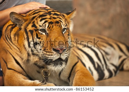 tiger lie down on floor - stock photo