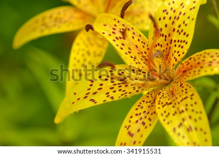 Tiger lilies in garden with dewdrops. Lilium lancifolium. Yellow orange lily flower - stock photo