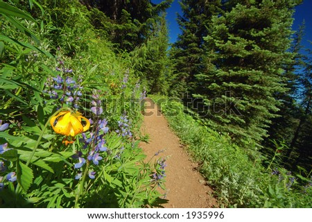 Tiger Lilies, Lilium columbianum, and lupine,  in an alpine meadow in Washington State's Olympic National Park - stock photo
