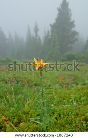 Tiger Lilies, Lilium columbianum ,  in Olympic National Park - stock photo