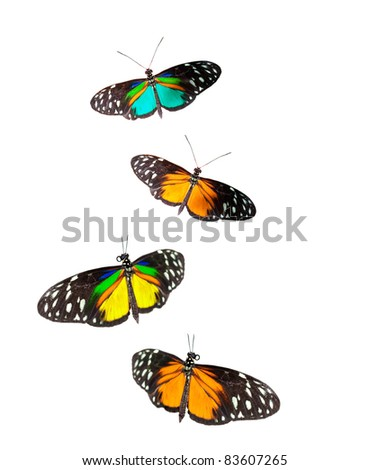 Tiger Longwing butterflies - stock photo