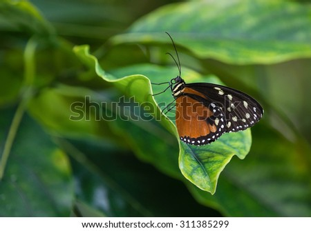 Tiger Longwing butterfly (Heliconius hecale), aka Golden Helicon, perched on a leaf - stock photo