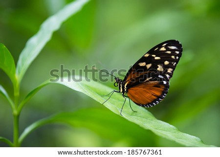 Tiger Longwing butterfly (Heliconius hecale), aka Golden Helicon, perched on a leaf. Natural green background with copy space. - stock photo