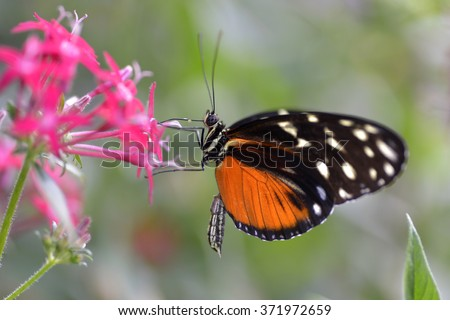 Tiger Longwing butterfly (Heliconius hecale) feeding on red flower and seen from profile - stock photo