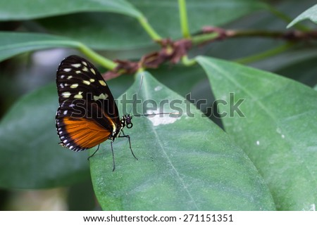 Tiger Longwing butterfly, Heliconius ismenius perched on a leaf - stock photo