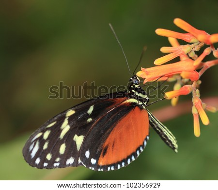 Tiger Longwing Butterfly on flower - stock photo