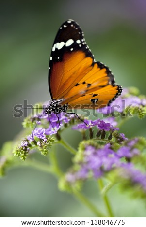 Tiger longwing - heliconius hecale - stock photo
