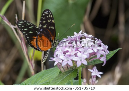 Tiger Longwing, Heliconius hecale sucking nectar froma flower - stock photo